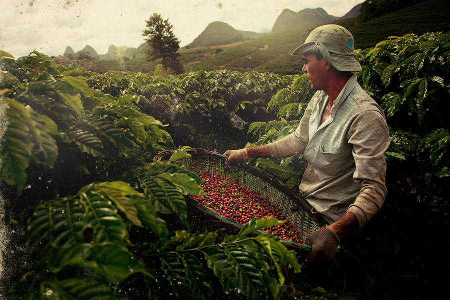 Производство кофе в Бразилии: сбор урожая