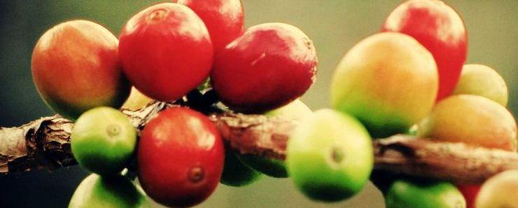 Спелые кофейные ягоды