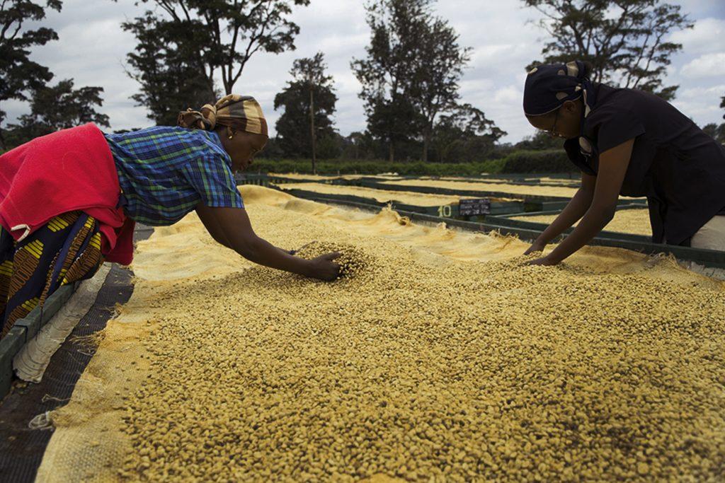Кенийский кофе: сушка