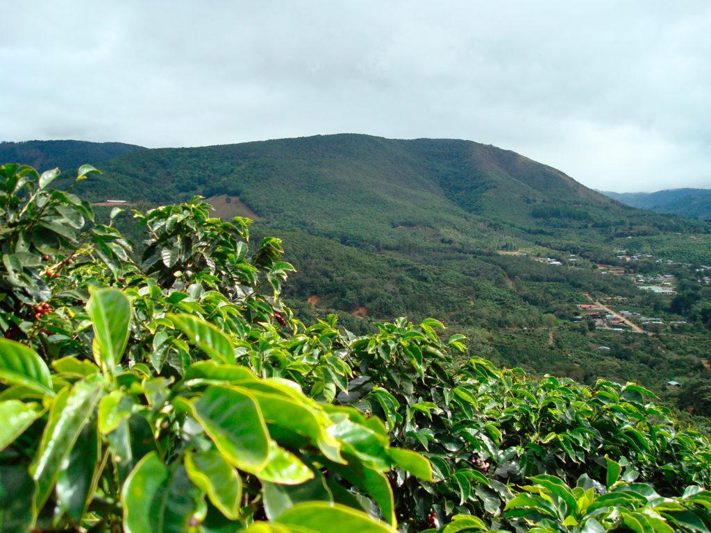 Сорта кофе: как влияет высота на вкус