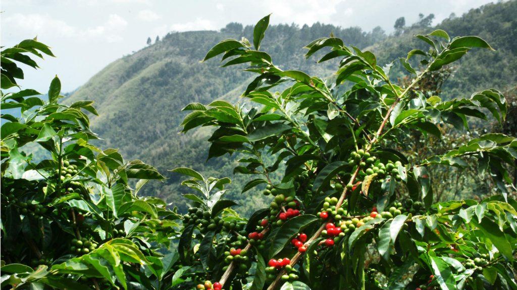 Сорта кофе: плантации